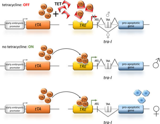 Sexing using female-specific splicing under the control of the repressible tTA-system. The depicted transgenic sexing system [41,42] uses a sex-specifically spliced intron and a hyperactive pro-apoptotic gene to generate female-specific lethality under the regulation of the tetracycline-controlled transactivator (tTA). To cause early embryonic lethality and thus avoidance of larval survival, the tTA is under the control of an early embryonic promoter. During rearing of such strains, addition of tetracycline (TET) to the food keeps the system in the OFF state, as tetracycline blocks the binding of tTA to its response element (TRE). For the release generation, tetracycline is absent in the food and therefore the sexing system is ON: in males, the male specific splicing of the transformer intron (tra-I) - placed after the translation start codon (ATG) of the effector gene - includes a small exon containing a TAA stop codon between the start codon and the rest of the effector gene and therefore prevents the production of the functional pro-apoptotic effector protein allowing the males to survive; whereas in the females the female specific splicing of the tra-I produces a functional effector and the embryonic cells are driven into apoptosis, which leads to female-specific embryonic lethality.
