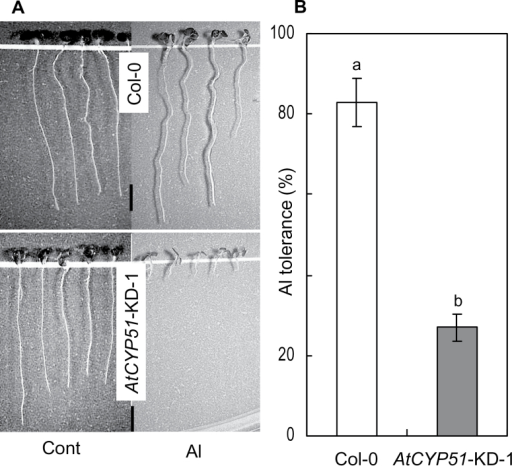 Difference in growth pattern between wild-type (Col-0) and CYP51 knocked-down line of Arabidopsis (AtCYP51-KD-1) after Al treatment (A) and Al tolerance of Col-0 and CYP51 knocked-down line-1 (B). Three-day-old synchronously germinated Arabidopsis seedlings of Col-0 and CYP51 knocked-down line-1 were treated with or without 4 µM AlCl3 (pH 5.0) for 7 days. After acquiring images with a digital camera attached to a stereoscopic microscope, the length of each root in each image was measured using Image J software. Al tolerance was calculated as the ratio of root length in Al treatment to that in the control. Ten seedlings were used for each measurement. Values are means of three independent replicates ± standard error. Different lower case letters above each column indicate significant differences at a 5% level. Scale bar, 2mm.
