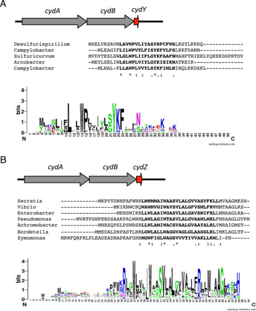 "Newcyd-related small proteins identified in this study. (A) The CydY small protein found in Epsilon and Deltaproteobacter species downstream of cydAB operons encoding CydA with a long Q-loop. (B) The CydZ small protein found in over 150 cydAB operons encoding CydA with a short Q-loop. Operon organization is shown on top of each figure, with an example alignment shown below followed by a consensus sequence logo shown at the bottom of the figure. Species are as follows: Desulfurispirillum indicum S5 (""Desulfurispirillum""), Campylobacter concisus 13826 (""Campylobacter""), Sulfuricurvum kujiense DSM 16994 (""Sulfuricurvum""), Arcobacter butzleri RM4018 (""Arcobacter""), Campylobacter jejuni subsp. doylei 269.97 (""Campylobacter""), Serratia sp. AS12 (""Serratia""), Vibrio parahaemolyticus RIMD 2210663 (""Vibrio""), Enterobacter aerogenes KCTC 2190 (""Enterobacter""), Pseudomonas aeruginosa LESB58 (""Pseudomonas""), Achromobacter xylosoxidans A8 (""Achromobacter""), Bordetella parapertussis 12822 (""Bordetella""), Zymomonas mobilis subsp. mobilis ZM4 (""Zymomonas""). Sequence logos were generated using the program WebLogo [57]. Alignments were generated using the program MUSCLE [54]. '*' indicates that the residues are identical in all sequences and ':' and '.', respectively, indicated conserved and semi-conserved substitutions as defined by MUSCLE."