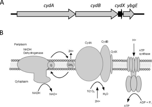 cydABXorganization and function inEscherichia coli. (A) Operon organization of the cydABX cytochrome bd oxidase operon. (B) Function of the CydABX complex in the electron transport chain.
