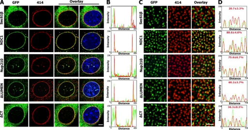 Nup210ΔCT truncation mutant fails to accumulate at the NE and is partially mislocalized from NPCs. (A) NE distribution of Sec61-β–GFP, NDC1-GFP, Nup210-GFP, Nup210ΔLUMEN-GFP, or Nup210ΔCT-GFP in stable myoblast cell lines. C2C12 cells were stained for GFP (green) and nuclear pores using mAb414 (red). Experiments were performed at least three times independently. Representative data for each condition is shown. Bar, 5 µm. (B) GFP and mAb414 signal profiles at NE cross sections were determined by ImageJ. (C) Localization of GFP and mAb414 signals at NE surfaces of C2C12 myoblasts stably expressing Sec61-β–GFP (n = 555), NDC1-GFP (n = 603), Nup210-GFP (n = 510), Nup210ΔLUMEN-GFP (n = 502), and Nup210ΔCT-GFP (n = 652) where n represents the number of NPCs quantified. C2C12 cells were stained for GFP and nuclear pores using mAb414. Experiments were repeated three times, and representative images are presented. Bar, 1 µm. (D) GFP and mAb414 signal profiles at the NE surface were determined by ImageJ. Colocalization percentage of nuclear pore signals with GFP signals was determined using Imaris.