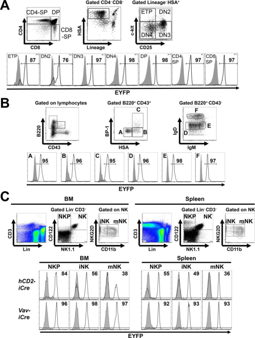 hCD2-iCre activity in T, B and NK cell development.(A) Thymocyte populations were identified by the gating strategy in the upper panel [13,31–33]. Lower panel, EYFP expression in the indicated thymocyte populations from hCD2-iCre+/-R26-stop-EYFP+/- (open histograms) or R26-stop-EYFP+/- mice (shaded histograms). Numbers denote % EYFP+ cells within the indicated population of hCD2-iCre+/-R26-stop-EYFP+/- mice. Representative of three independent experiments (n = 3). (B) Upper panel, subsets of developing B cells in the BM were distinguished as in [19]. Lower panel, EYFP expression in the indicated BM B cell populations from hCD2-iCre+/-R26-stop-EYFP+/- (open histograms) or R26-stop-EYFP+/- mice (shaded histograms). Numbers denote % EYFP+ cells within the indicated population of hCD2-iCre+/-R26-stop-EYFP+/- mice. Representative of three independent experiments (n = 3). (C) Upper panels, NK cell progenitors (NKP), immature (iNK) and mature (mNK) NK cells were identified using the indicated gating strategy [18,29]. Lower panels, EYFP expression in the indicated BM and splenic NK cell populations from (top, n = 3 per genotype) hCD2-iCre+/-R26-stop-EYFP+/- (open histograms) or R26-stop-EYFP+/- mice (shaded histograms), or (bottom, n = 2 per genotype) from Vav-iCre+/-R26-stop-EYFP+/- (open histograms) or R26-stop-EYFP+/- mice (shaded histograms). Numbers indicate % EYFP+ cells in the respective Cre+/- mice. Representative of three independent experiments with hCD2-iCre transgenic mice, and of two independent experiments with Vav-iCre transgenic mice.
