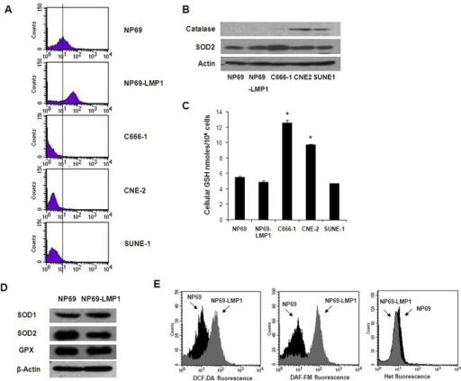 Oncogenic transformation by LMP1 causes increased ROS generation.A: Basal hydrogen peroxide levels in immortalized nasopharyngeal epithelial cells (NP69 and NP69-LMP1) and NPC cells (C666-1, CNE-2 and SUNE-1) were detected by flow cytometry using DCF-DA. Each histogram is representative of three experiments. Compared to NP69 cells, NP69-LMP1 cells exhibit significantly higher level of hydrogen peroxide (p<0.05). B: Basal protein expression of catalase and superoxide dismutase 2 (SOD2) in immortalized nasopharyngeal epithelial cells (NP69 and NP69-LMP1) and NPC cells (C666-1, CNE-2 and SUNE-1). β-Actin served as a loading control. C: Comparison of total cellular GSH in immortalized nasopharyngeal epithelial cells (NP69 and NP69-LMP1) and NPC cells (C666-1, CNE-2 and SUNE-1) (mean ± SD of three experiments, * p<0.05). D: Basal protein expression of catalase, glutathione peroxidase (GPX) and superoxide dismutase (SOD1 and SOD2) in NP69 and NP69-LMP1 cells. β-Actin served as a loading control. E: Increase in ROS levels in NP69-LMP1 cells detected by flow cytometry using DCF-DA (left panel) and DAF-FM (middle panel). Superoxide was detected using HEt (right panel). Each histogram is representative of three experiments. Compared to NP69 cells, NP69-LMP1 cells exhibit significantly higher level of ROS contents, including hydrogen peroxide and nitrogen oxide (p<0.05).