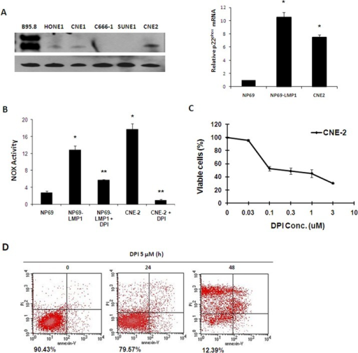 NOX activation makes NPC cells vulnerable to the NOX inhibitor DPI.A: p22phox mRNA expression level was evaluated in NP69, NP69-LMP1 and CNE2 cells by RT-PCR and real-time quantitative PCR. LMP1 expression was detected in NPC cells and B95.8 B lymphoma cells. β-Actin served as a loading control (mean ± SD of three experiments). Compared to NP69 cells, NP69-LMP1 and CNE2 cells had significantly higher p22phox mRNA expression level (*p<0.01). B: Comparison of NOX activity and the effect of DPI on NOX activity in NP69, NP69-LMP1 and CNE2 cells, measured by a luminometer using lucigenin in the presence of NADPH (mean ± SD of three experiments). Compared to NP69 cells, NP69-LMP1 and CNE2 cells had significantly higher NOX activity (* p < 0.01). DPI treatment could significantly suppress NOX activity in NP69-LMP1 and CNE2 cells (** p<0.01). C: Mortality effect of 0.03–10 μM DPI on CNE2 NPC cells, evaluated using an MTT assay (mean ± SD of three experiments). DPI suppressed CNE2 cells proliferation. D: Mortality effect of 5 μM DPI on CNE2 cells, detected using annexin V-PI staining and flow cytometry. The numbers under the plots indicate the live cells with both low annexin V staining and low PI staining. Each histogram is representative of three experiments.