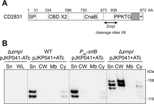 ZmpI-mediated release of the cell wall-associated CD2831 protein into the culture supernatant.A, schematic representation of CD2831. The relevant characteristics are a signal peptide (SP), two putative collagen-binding domains (CBD), a CnaB-like domain, and a C-terminal putative sorting signal comprising a PPKTG sorting motif, a hydrophobic domain (in gray), and a positively charged tail (+). AA, amino acids. B, supernatant (Sn), cell wall (CW), membrane (Mb), and cytosolic (Cy) compartment of wild type (WT), Ptet-srtB (overexpresses the sortase in the presence of ATc), and zmpI mutant (ΔzmpI) strains, carrying pJKP041 (expresses CD2831 in the presence of ATc) and cultivated in the presence of 100 ng/ml ATc (+ATc), were analyzed by Western blotting with anti-CD2831 polyclonal antibodies. Supernatant and whole cell lysate (WL) fractions of ΔzmpI pJKP041 strain cultivated in the absence of ATc (−ATc) were also analyzed as negative controls.