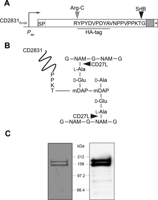 Expression and purification of CD2831R-HA from the cell wall of C. difficile ΔzmpI.A, CD2831R-HA construct under control of the inducible tetracycline promoter (Ptet) containing signal peptide (SP), the PPKTG motif, the hydrophobic domain (in gray), and the positively charged tail (+). Cleavage sites of SrtB and ArgC are indicated. B, CD2831 is covalently linked to the peptidoglycan of C. difficile. Nonacetylated glucosamine residues (G) and unusual mDAP-mDAP cross-links generated by dl-transpeptidation are predominant in the peptidoglycan of C. difficile (34). Cleavage sites of the CD27L endolysin are indicated by arrowheads. NAM, N-acetylmuramic acid; DAP, diaminopimelic acid. C, cells from ΔzmpI strain expressing CD2831R-HA were suspended in PS buffer and treated with the purified catalytic domain of the CD27L endolysin. Digested cell wall was isolated by centrifugation and subjected to immunoprecipitation using anti-HA. Purified polypeptides were separated on 10% SDS-polyacrylamide gels and Coomassie Blue-stained (left panel) or probed with anti-HA antibodies (right panel).