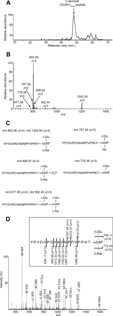 Structure of CD27L-released CD2831R-HA anchor peptides. Reverse phase-HPLC elution profile (A) and mass spectrometry spectrum (B) of CD2831R-HA anchor peptides. Purified CD2831R-HA was cleaved with Arg-C to generate C-terminal CD2831R-HA anchor peptides, which were further purified by a second round of anti-HA immunoprecipitation. Purified anchor peptides were analyzed by LC-MS. C, deduced structures and their calculated m/z value for the different species detected by mass spectrometry. D, MS/MS sequencing of the predominant ion at m/z 802.06 with z = 3. Inferred structure is represented. The indicated m/z values on the presented structure correspond to ions obtained by cleavage of one amide bond.