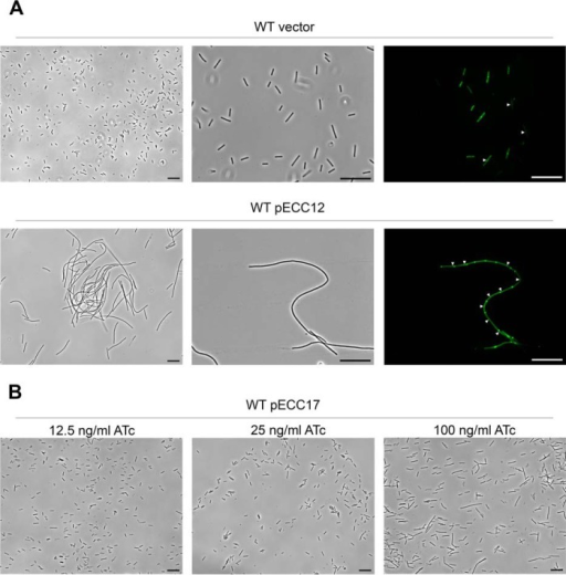 Elevated c-diGMP levels induce formation of long chain of cells in C. difficile 630.A, phase contrast (left and center panels) and fluorescence (right panel) microscopy images C. difficile wild-type (WT) strain carrying an empty plasmid (vector) or pECC12 (constitutively expresses DccA). For the fluorescence microscopy, membranes were stained with MitoTracker Green. White triangles indicate positions of septa. Scale bars, 20 μm. B, phase contrast microscopy views of C. difficile wild-type (WT) strain carrying pECC17 (expresses DccA in the presence of ATc). Expression of DccA from pECC17 was induced with the indicated concentrations of ATc. Black bars, 20 μm.