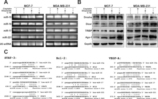 C-10 modulates microRNA expression and its biogenesis.(A) Endogenous microRNA expression studies in compound treated MCF-7 and MDA-MB-231 cells showing significant upregulation of miR-15 and miR-16 in Etoposide or C-10 treated cells compared to miR-17 and miR-221. (B) The C-10 compound enhanced the expression of Drosha, Dicer, TRBP and Ago-1 enzymes that involved in synthesis and processing of matured microRNAs. (C) Computational analysis of miRNA prediction shows the possible binding sites in 3'UTR of Bcl-2, STAT3 and VEGFA for each miRNA-15, 16, 17 and 221 along with miSVR scores as depicted by miRanda software.