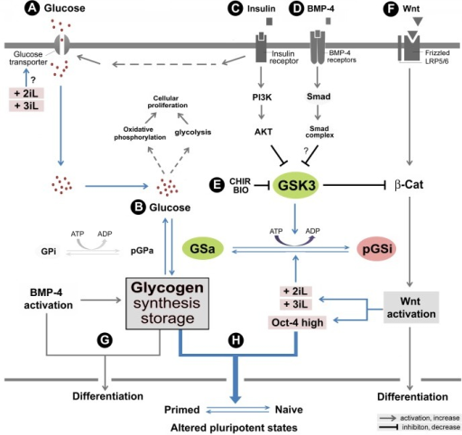 "Growth, differentiation, and glycogen synthesis in human embryonic stem cells (hESCs).A hypothetical model is presented to elucidate major signaling pathways that are associated with glycogen synthase kinase 3 (GSK-3) and glycogen synthesis. (A) In this model, glucose transporter-mediated uptake of glucose is activated by an insulin-receptor signaling pathway. (B) Glucose takes part in aerobic glycolysis in the cytoplasm and oxidative phosphorylation in mitochondria to produce energy for hESC proliferation and self-renewal. Presumably, excessive glucose is converted to glycogen by activated glycogen synthase (GSa) upon stress and differentiation signaling to enhance hPSC survival. Glycogen can be decomposed in the presence of phosphorylated glycogen phorsphoylase (pGP) whenever necessary. (C) The insulin signaling pathway also activates the PI3K-AKT pathway, which phosphorylates GSK-3. The GSK-3 phosphorylation leads to its inactivation and subsequently inhibits the phosphorylation of glycogen synthase (GS). Thus, activation of the PI3K-AKT pathway increases glycogen synthesis. (D) The mechanism of BMP-4-induced glycogen body formation is likely through the inhibition of GSK-3 by the putative Smad pathways. (E) The mechanism by which the GSK3i CHIR modulates the synthesis of glycogen is likely through the inhibition of GSK-3 activity, thereby altering glycogen synthase activity. (F) Concomitantly, GSK-3 inhibitors (e.g., CHIR99021 and BIO) may promote hPSC differentiation by activation of the β-catenin-WNT pathway. (G) The function of aggregated glycogen bodies is unclear and may be associated with response to extracellular stress and differentiation signals such as BMP-4. (H) Under sustained Oct-4 expression conditions, GSK3i-mediated glycogen accumulation concomitant with Wnt activation and other naïve growth components enhances the transition from the primed pluripotent to the naïve state in hPSCs. The proposed mechanisms in this model supported by this study are color-highlighted. The ""?"" symbols indicate inconclusive observations. The abbreviations are: 2iL, the naïve pluripotent growth condition that include GSK3i, MEKi, and LIF; 3iL, the naïve pluripotent growth condition that include GSK3i, MEKi, BMP4i, and LIF; AKT, the serine-threonine protein kinase encoded by v-akt murine thymoma viral oncogene homolog; CHIR, CHIR99021; GPi, dephosphorylated glycogen phosphorylase (inactive form); GSa, dephosphorylated glycogen synthase (active form); GSK-3, glycogen synthase kinase 3; pGPa, phosphorylated glycogen phosphorylase (active form); pGSi, phosphorylated glycogen synthase (inactive form); PI3K, the phosphoinositide 3-kinase; and β-cat, β-catenin."