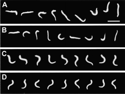 Dark-field stroboscopic images of reactivated axonemes used for comparison of waveforms. Wild-type (A) and  cpc1 (B) axonemes reactivated at 10−8 M Ca2+ beat with highly  asymmetric waveforms. Both axonemes are freely swimming  near the coverslip. Wild-type (C) and cpc1 (D) axonemes reactivated at 10−4 M Ca2+ beat with symmetric waveforms. Both axonemes have adhered to the coverslip at their proximal ends. All  panels were photographed at a flash rate of 50 Hz. Bar in A, 10 μm.