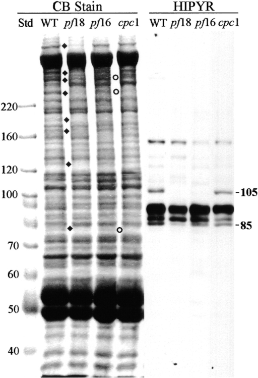 Kinesin-like central pair proteins are not disrupted by  the cpc1 defect. Axoneme samples from wild-type (WT), pf18,  pf16, and cpc1 strains were separated by SDS-PAGE as in Fig. 8,  and either stained with Coomassie blue (CB lanes) or transferred  and probed with affinity-purified polyclonal anti-HIPYR antibody (HIPYR lanes). Bands missing from pf18 axonemes are indicated by diamonds, bands missing from cpc1 by circles. The apparent Mr of two bands recognized by anti-HIPYR and missing  from pf18 axonemes are shown along the right margin. The 105-kD  band is missing from pf16 axonemes, whereas neither band is  missing from cpc1 axonemes. Molecular mass standards (kD) are  indicated along the left margin.