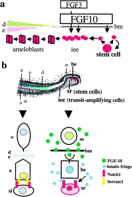 A model for the molecular mechanisms involved in the generation of the ameloblast cell lineage from stem cells. (a) Stem cell kinetics. The stem cell divides slowly and gives rise to one daughter cell remaining in the stem cell pool in the cervical loop, whereas the other daughter cell enters the zone of rapidly dividing inner enamel epithelial cells (transit-amplifying cell population). During rounds of divisions, these cells move toward the incisal direction and differentiate into ameloblasts forming enamel matrix. They are in close contact with dental mesenchyme expressing FGF-10, which stimulates the division of both stem cells and transit-amplifying cells (inner enamel epithelial cells), and FGF-3 stimulating division of transit-amplifying cells only. (b) Signaling pathways for cell fate specification in ameloblast cell lineage. Mesenchymal FGF-10 (green dots) stimulates lunatic fringe (blue dots) expression in the basal epithelium. The stem cells are located in the stellate reticulum expressing Notch1 (red stripes). Lunatic fringe modulates Notch signaling in the stem cells. When the daughter of a stem cell enters the zone of lunatic fringe expression in basal epithelium it will be incorporated to the ameloblast cell lineage interacting with adjacent mesenchymal cells. In the zone of differentiated cells (left), the Notch signaling pathway regulates interactions between ameloblasts expressing Serrate1 and stratum intermedium cells expressing Notch1. Abbreviations: a, ameloblast; be, basal epithelial cell; bm, basement membrane; d, dentin; e, enamel; iee, inner enamel epithelial cell; m, mesenchymal cell; o, odontoblast; si, stratum intermedium; and sr, stellate reticulum.