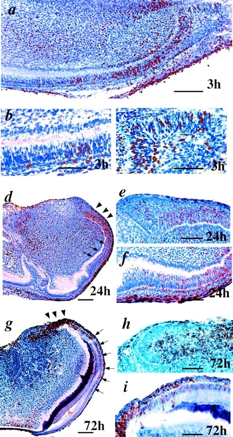 Analysis of cell division in the dental epithelium by BrdU labeling. (a–c) After 3 h labeling, BrdU incorporating cells are located in the cervical loop (c) and inner enamel epithelium extending to the zone of terminal ameloblast differentiation (b). (d–i) After 24 (d–f) and 72 h of labeling (g–i), BrdU incorporation is seen also among the newly differentiated ameloblasts (arrows). Particularly high incorporation was evident in the zone of inner enamel epithelium (arrowheads). Bars: (a, d, and g) 200 μm; (b, c, e, f, h, and i) 100 μm.