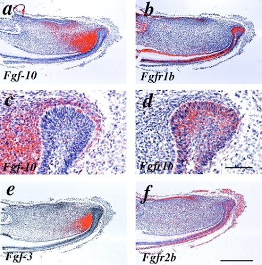 Localization of Fgf-3 and Fgf-10 and the receptors Fgfr1b and Fgfr2b (Kgfr) mRNA in the mandibular incisor of 2-d-old mice. (a and c) Fgf-10 is intensely expressed in the dental mesenchyme adjacent to cervical loop and inner enamel epithelium. (b and d) Fgfr1b is expressed throughout cervical loop epithelium with high intensity at the border between basal epithelial cells and stellate reticulum. (e) Fgf-3 is expressed in dental mesenchyme under the inner enamel epithelium in a more restricted area than Fgf-10. (f) Fgfr2b (Kgfr) is expressed in the cervical loop in similar locations as Fgfr1b. c and d show higher magnification of the cervical loop in a and b, respectively. Bars: (a, b, e, and f) 1 mm; (c and d) 200 μm.