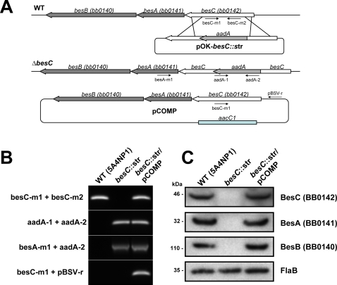 Characterization of the besC mutant strains.(A) Schematic representation of besC, becA and besB genes in the Borrelia burgdorferi B31 chromosome, insertion of the aadA gene cassette by homologous recombination and complementation plasmid. Arrows indicate the relative positions of the oligonucleotides used. The diagram is not drawn to scale. (B) PCR analysis of the wild-type strain, the resulting besC mutant and the complemented strain using primer pairs specific either only for the besC and aadA genes; or one primer specific for besA and the other for aadA gene. The PCR was also used to confirm the presence of the shuttle vector in the complemented strain using one primer specific for besC and another specific for the shuttle vector. (C) Immunoblotting using antiserum raised against BesA, BesB and BesC to determine the presence or absence of these proteins in wild-type, besC mutant and the complemented strain.