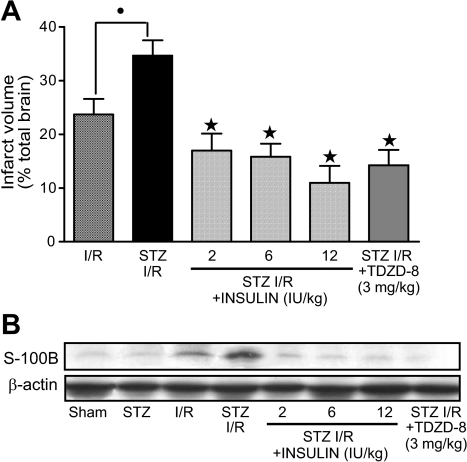 Total infarct volume (A) and hippocampal S100B expression (B). Diabetic rats that underwent 30 min of ischemia followed by 24 h of reperfusion (STZ I/R) showed higher levels of infarct volume and S100B expression than nondiabetic rats exposed to I/R. Additional groups of diabetic rats received 3 mg/kg TDZD-8 (STZ I/R + TDZD-8) or 2–12 IU/kg insulin (STZ I/R + INSULIN) during reperfusion. The infarct volume data are means ± SE of four rats per group. The immunoblot of S100B protein expression and the corresponding β-actin are representative of three separate experiments. •P < 0.05 vs. I/R; ★P < 0.05 vs. STZ I/R.