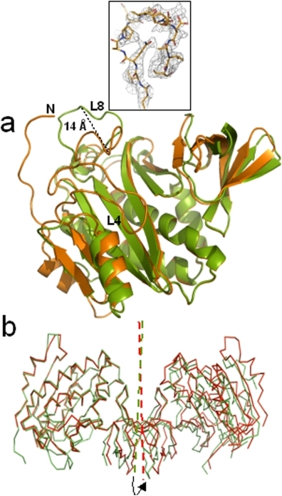 The asymmetric dimer.(a) Superposition of cartoon representations of dhMtb-BirA subunit A (orange) and subunit B (green) exhibiting the structural differences in two subunits. Seven N-terminal residues and loop L4 are disordered in subunit B and have not been built. Maximum conformational differences in the two subunits are displayed in loop L8 with 14 Å shift measured at the apex of the loop. Inset shows the sigma weighed 2 Fo–Fc electron density map (gray mesh) contoured at 0.7σ around the L8 loop in subunit B of dhMtb-BirA (represented as sticks in atom type colors). (b) The dimeric molecule in the asymmetric unit of dhMtb-BirA (green) and hMtb-BirA (red) are shown after superposition of subunit A. The arrow indicates an anticlockwise rotation (7°) of the twofold axis that relates to the two monomers (indicated in the same color) required for subunit B of dhMtb-BirA to superpose on the corresponding subunit of hMtb-BirA.