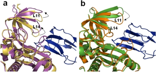 BirA-BCCP complex.(a) Structural superposition of cartoon representations of subunits A of apo (yellow) and BCCP complexed (magenta) PhBirA illustrating the open/close movement (marked by an arrow) of L14 loop to regulate the entry/exit of BCCP. (b) Similar superposition of hMtb-BirA (green) and dhMtb-BirA (orange) representing apo and active forms, respectively, demonstrate no such movement in L14 loop. Contrary to the movement of C-terminal loops in PhBirA, the loop L11 in Mtb-BirA moves inwards (marked by an arrow) on BCCP binding. BCCP molecule in both figures is shown as blue cartoon.