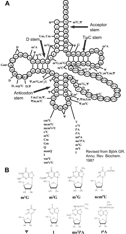 Modified nucleosides in eukaryotic tRNAs and chemical s