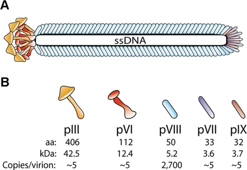 Schematic drawing of the filamentous phage structure.(A) The wt virion is made up of five structural proteins that coat a single stranded DNA genome of about 6.4 kb. (B) In the wt phage there is about 2,700 copies of pVIII and approximately 3–5 copies each of the four proteins pIII, pVI, pVII and pIX, which are found at each tip of the virion [4], [35]. The virion size depends on the genome size at approx. 2.3 nucleotides per pVIII, and hence the length of the particle changes as a function of genome length [36]. The theoretical MW of the mature capsid proteins were calculated from the sequence of VCSM13 (GenBank accession no.: AY598820).