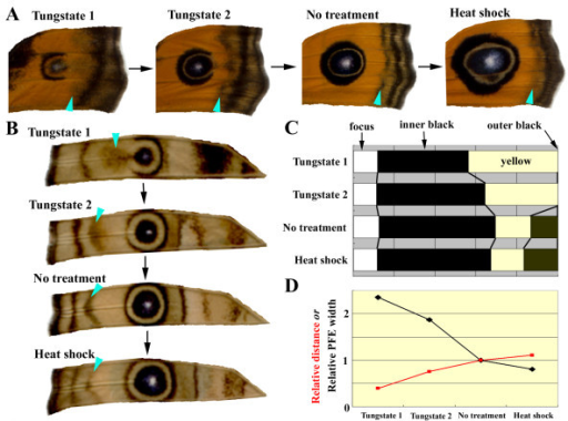 "Colour-pattern analysis of tungstate-induced and heat-shock-induced modifications of major eyespots on dorsal and ventral surfaces. (A, B) Dorsal (A) and ventral (B) major eyespots and PFEs of the forewing. Four individuals were aligned according to the possible time sequence of development. Treatment modes are indicated above each wing portion; light blue arrowheads indicate PFEs. Smaller eyespots and PFEs that were dislocated closer to the eyespot focus were considered to represent earlier stages of development. The open area produced by tungstate treatment on the distal sides of smaller eyespots may be attributed to repulsion from PFEs located nearby. Note the size and structural changes of the eyespots. Additionally, note the positional and width changes in the PFEs. Modified from Otaki [27]. (C) Percentages of white foci, inner black core rings, yellow rings, and outer black rings of the major eyespots in the four individuals shown in B. The distal sides of the major eyespots were measured from the centres of the focal areas. (D) Relative distances of PFEs from the focus and relative PFE widths in the four individuals shown in B. The distance was measured from the centre of the focus to the nearest part of the PFEs. The distance and width of the ""no treatment"" individual were adjusted to 1.00, and other data were normalised accordingly."