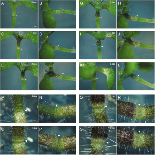 Grafts in Arabidopsis and tomato. (A–L) Time-lapse images demonstrating the phenotypic development of a graft union of a WT/WT combination in Arabidopsis. Arrowheads indicate the graft union. Images were ordered as dag (days after grafting). The graft union was examined on all sides: (A), (C), (E), (G), (I), and (K) show the front view, which was observed perpendicular to the medium surface, while (B), (D), (F), (H), (J), and (L) show the side view, which was observed parallel to the medium surface. (M–T) Graft union development in tomato. White arrowheads indicate the graft union. Tomato grafts recover faster than other species studied. At 3 dag, the scion and stock were connected completely. Bars, 200 μm.