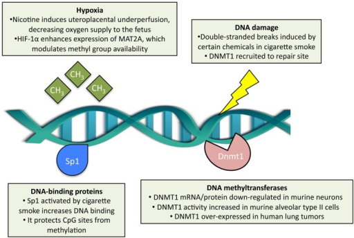 Effects of cigarette smoke exposure on DNA methylation. Cigarette smoke has been shown to modulate DNA methyltransferase 1 (DNMT1) content, both at the transcript and protein level, and enzymatic activity separately in different cell types. Double-stranded DNA breaks may be induced by cigarette smoke, which subsequently recruits DNMT1 adjacent to the repair site. DNA-binding proteins, such as Sp1, are activated by cigarette smoke and protect CpG sites from de novo methylation. In the context of prenatal exposure, cigarette smoke induces hypoxia in the embryo, which in turn modulates methyl group availability.