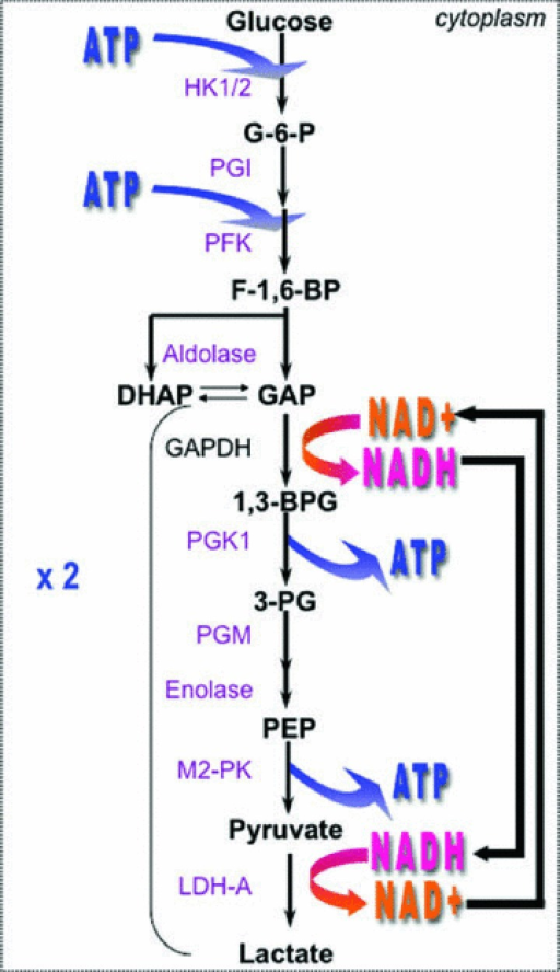 Diagram of the glycolytic pathway glycolysis produces open i diagram of the glycolytic pathway glycolysis produces two atp molecules from one glucose molecule consumed ccuart Choice Image