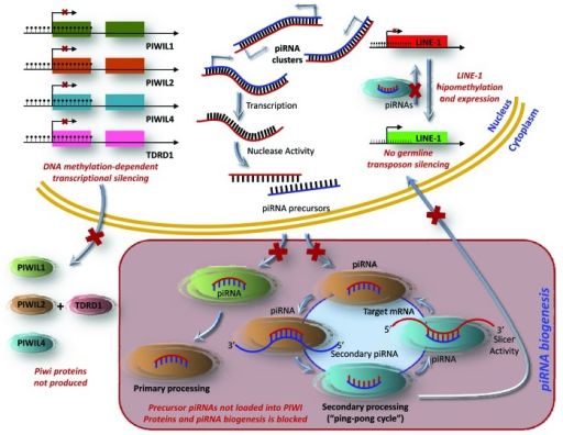 "Figure 4. A model for the PIWI/piRNA pathway in germline cells and its disruption in testicular tumors. piRNAs are small non-coding RNAs that are mainly transcribed as single-stranded intergenic RNAs from well-conserved mono- and bi-directional clusters of repetitive elements. These piRNA precursors translocate into the cytoplasm, where they mature into functional piRNAs. The PIWI proteins catalyze a self-amplification loop, ""ping-pong"" cycle. Their incorporation into the PIWI ribonucleoprotein (piRNP) complex targets repetitive elements through target degradation and epigenetic silencing. In testicular cancer types, piRNA biogenesis and function are disrupted by DNA hypermethylation mediated transcriptional silencing of PIWI-proteins, leading to the expression of germline transposons."