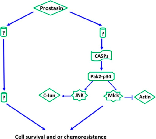 Proposed model of prostasin-regulated signaling network affecting cell survival and/or chemoresistance. Prostasin appears to regulate cell survival and/or chemoresistance may be through CASPs/Pak2-p34 axis and thereafter PAK2-p34/JNK/c-jun and PAK2-p34/mlck/actin signaling pathways