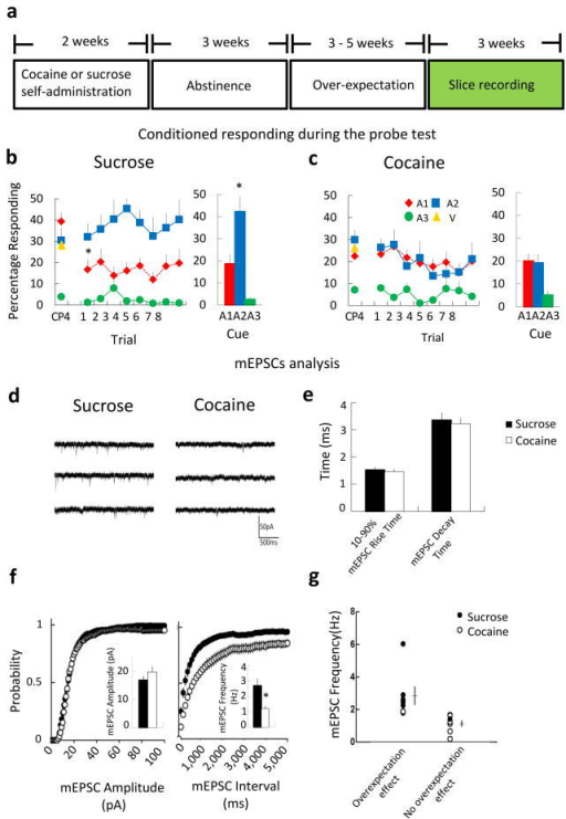 Reduced excitatory transmission in OFC pyramidal neurons in cocaine-trainedratsa. Timeline for slice recording experiment. Approximately 3 weeks after theend of self-administration, rats were trained in a Pavlovian over-expectation taskillustrated in Figure 1.b–c. Conditioned responding in sucrose(b) and cocaine-trained (c) rats as a percentage of time in thefood cup during each cue at the end of compound training (CP4) and during the 8 trials ofextinction (Trial 1–8 and bar graph showing means). Error bars indicate S.E.M.,(*p < 0.05). A 3-factor ANOVA (cue X trial X treatment) revealed a significantinteraction between treatment and cue (F 2, 32 = 5.65, p =0.008). Subsequent analyses showed that this was due to a significant decline inresponding to A1 when it was separated from V in sucrose (*; p < 0.05) but notcocaine-trained (ns) rats. d. Traces show pharmacologically isolated, mEPSCsrecorded in OFC pyramidal neurons in brain slices from sucrose and cocaine-trained rats.e. Mean cumulative probability distributions for mEPSC amplitude andfrequency for cells from sucrose (n = 26 neurons, 9 rats) and cocaine-trained rats(n = 28 neurons, 9 rats), showing a reduction in mEPSC frequency (p < 0.0001,K-S test). Insets: mean mEPSC parameters: amplitude (*p = 0.0036, t -test) and frequency (p > 0.05, t-test). e. Mean mEPSC parameters: rise anddecay times (p's > 0.05, t-test). g. Rats that learned fromover-expectation exhibited higher mEPSC frequencies (p < 0.05, t-test). White and blackcircles indicate mean mEPSC frequency from individual rats included in the cocaine andsucrose-trained rats, respectively. The mean and s.e.m. of mEPSC frequency for thesegroups is also indicated by black and white horizontal and vertical lines,respectively.