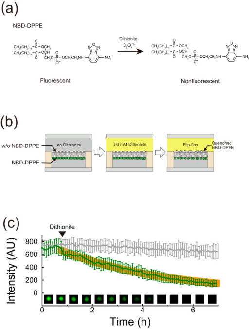 Flip-flop measurement using NBD-DPPE.(a) Quenching of NBD-DPPE resulting from reduction by dithionite. (b) Schematic illustration of NBD-reduction assay. First, micro-chambers and an upper flow channel are filled with buffer (pH 7). Second, the buffer in the flow channel is exchanged with buffer containing 50 mM dithionite. During these processes, we measured the fluorescence intensity of NBD-DPPE located in the bilayers. (c) Time course of fluorescence intensity of NBD-DPPE in bilayers. Green or grey plots represent the fluorescence intensity in the presence or absence of 50 mM dithionite after 40 min, respectively. The orange line represents the fitting curve based on a single-order reaction scheme with a time constant of 4.1 h. Insets show fluorescent images of NBD-DPPE in the representative micro-chamber.