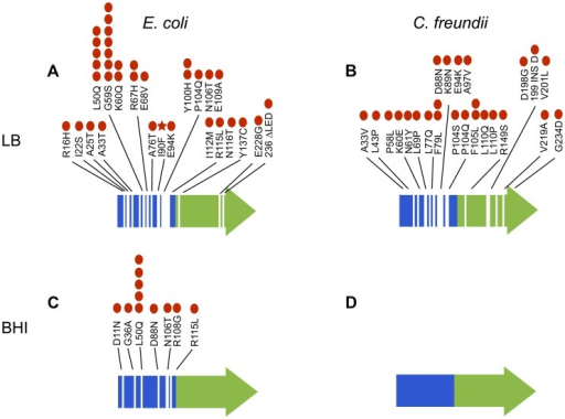 Mutations in arcA evolved repeatedly and with remarkable diversity both within and among populations of E. coli evolved in LB (A) and BHI (C) and C. freundii populations evolved in LB (B) and BHI (D).Specific mutations to arcA identified in the evolved populations are indicated. The red dots represent the number of populations with that specific mutation (out of twelve LB and eleven BHI populations for each strain). The red star indicates the mutation that was fixed in LB5. No mutations in arcA were identified in the BHI-evolved C. freundii populations. The receiver domain that includes the site of phosphorylation (Asp-54) is indicated in blue and the DNA binding domain in green.