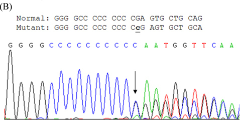 (A) Pedigree of PKC/PKD Taiwanese family: persons designated by sex, disease status (filled symbols represent patients, open symbols normal persons). Index case indicated by arrow. (B) Sequencing results of mutation in PRRT2 gene of index case. Arrow indicates one-base C inserted at nucleotide 650 (c.650insC), causing protein translation shift and stopping after seventh residue.