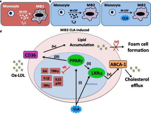 Potential atheroprotective mechanism of CLA on the macrophage/foam cell axis. (a) Th-1 cytokine environment primes M-CSF-triggered monocyte differentiation towards an MΦ1 macrophage pro-inflammatory phenotype. (b) Th-2 cytokine environment primes M-CSF-triggered monocyte differentiation towards an MΦ2 macrophage anti-inflammatory phenotype. (c) CLA action primes M-CSF-triggered monocyte differentiation towards an MΦ2-type macrophage. (d) In the presence of high levels of lipids in the extracellular matrix, CLA induces a dual mechanism PPARγ/LXRα-mediated (i-ii), by increasing CD36 levels (iii), allowing lipids to enter the cell (iv), and secondly, promoting cholesterol efflux, by increasing ABCA-1 mRNA expression (v), thus preventing lipid engulfment of the cell (vi), and the consequent foam cell formation. Moreover, CLA inhibits the secretion of pro-inflammatory cytokines (vii).