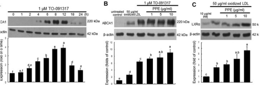 (A) Time course response of ABCA1 induction by TO-091317 and (B) upregulation of ABCA1 by purple Perilla frutescens extracts (PPE), and (C) enhancement of liver X receptor (LXR)α induction by PPE. J774A.1 murine macrophages were cultured with 1 μM TO-091317 or 50 μg/ml Cu2+-oxidized low-density lipoprotein (LDL) in the absence or presence of 1–10 μg/ml PPE. For the measurement of expression of (A and B) ABCA1 and (C) LXRα, total cell lysates were subjected to western blot analysis with a primary antibody against ABCA1 or LXRα. β-actin was used as an internal control. Bar graphs (means ± SEM, n=3) represent quantitative densitometric results of the upper bands. Bar graphs denoted without a common letter indicate significant difference, P<0.05.