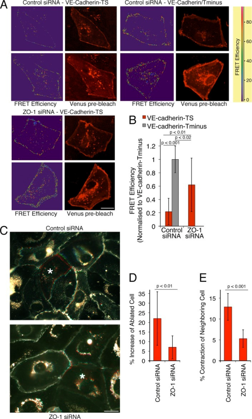 ZO-1 down-regulation reduces endothelial cell–cell tension. (A and B) Cells were transfected with siRNAs and, after 2 d, with a VE-cadherin–based FRET tension sensor containing (TS) or lacking (Tminus) the β-catenin binding site. FRET activity was then imaged by gain of donor fluorescence after acceptor bleaching from confluent monolayers. (A) FRET efficiency maps and images taken from venus fluorescent protein before bleaching. (B) Images were quantified by calculating the FRET efficiencies at cell–cell contacts. The values were then normalized to the FRET efficiency obtained with the tail-minus construct, which does not sense tension and hence provides the FRET signals that can maximally be expected (shown are means ± 1 SD [error bars]; n = 12). (C–E) Cells expressing GFP–α-catenin were plated and transfected with siRNAs as in A. The cells were then analyzed by ablating single cells (marked with an asterisk) within the monolayer with a laser and recording the movement of cell–cell contacts in the GFP channel for 1 min. The images in C show overlays of frames taken before ablation in red, after 30 s in green, and after 45 s in blue (see also Videos 1 and 2). The increase in the surface area of the ablated cells and the contraction of the neighboring cells were then analyzed (D and E, shown are means ± 1 SD [error bars]; n = 11). Bars, 20 µm.