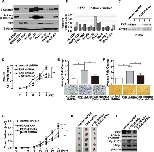 Loss of FXR induced oncogenic behavior via Wnt/β-Catenin signaling in Huh7 cells(A) Expression of FXR, β-Catenin and active-β-Catenin in 9 hepatoma carcinoma cell lines. Western blot of FXR, β-Catenin and active-β-Catenin was performed using total cell lysates from 9 hepatocyte cell lines. β-Actin was used as a loading control. (B) Quantification of Western blot analysis (normalized by β-Actin). FXR expression level was negatively correlated with active-β-Catenin level in 9 hepatocyte cell lines. (C) Specific knockdown of FXR was confirmed by western blot in Huh7 cells. (D, E and F) Silencing FXR expression by FXR shRNA #2 in Huh7 cells promoted cell growth (D), migration (E) and invasion (F) as detected by MTT, Transwell migration and Matrigel invasion assays respectively. (G and H) Time course of xenograft growth in nude mice. Nude mice were subcutaneously injected with Huh7 cells infected with either control shRNA, or FXR shRNA#2, or FXR shRNA#2 in combination with β-Catenin shRNA. Tumor volume was measured and tumor mass was excised and imaged at indicated time after injection. Huh7/FXR shRNA cells displayed accelerated tumor growth. And this effect was attenuated by simultaneous knocking down β-Catenin expression. (I) Expression of FXR, Active-β-Catenin, CylinD1 and c-Myc in the excised tumors from nude mice was determined by Western blot. Error bars represent ± SEM from three independent samples. *, p < 0.01; **, p < 0.001.
