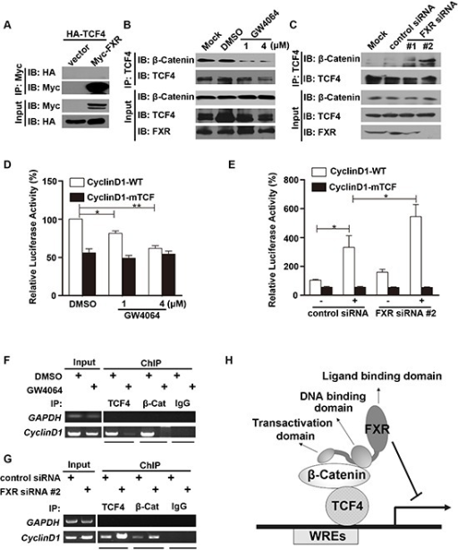 FXR attenuates β-Catenin/TCF4 complex mediated cyclin D1 transcription(A) FXR did not bind with TCF4. Co-immunoprecipitation was carried out with anti-Myc agarose in lysates from HEK293T cells co-transfected with Myc-FXR and HA-TCF4. TCF4 was not detected using antibodies against HA. (B) FXR agonist GW4064 attenuated β-Catenin/TCF4 complex formation. Co-immunoprecipitation was carried out using anti-TCF4 antibody, followed by IgG agarose incubation in lysates from Huh7 cells treated with 1 μM or 4 μM GW4064 for 24 hours. Bound β-Catenin was detected by Western blot. (C) Down-regulation of FXR enhanced β-Catenin/TCF4 complex formation. Immunoprecipitation was carried out using anti-TCF4 antibody, followed by IgG agarose incubation in lysates from Huh7 cells transfected with FXR siRNA (#1 or #2) or control siRNA for 24 hours. Bound β-Catenin was detected by Western blot. (D) FXR agonist GW4064 impaired the binding of TCF4 with Cyclin D1 promoter. Wild type Cyclin D1 promoter (Cyclin D1-WT; 0.1 μg), or a mutated Cyclin D1 loss of TCF binding site (CyclinD1-mTCF; 0.1μg) and pRL-TK plasmid were transfected into HEK293 cells for 24 hours. Luciferase activity was measured using cell lysates 24 hours after cells were treated with FXR agonists GW4064 (1 or 4 μM). GW4064 impaired the binding of TCF4 with Cyclin D1-WT but not CyclinD1-mTCF. (E) Down-regulation of FXR promoted the binding of TCF4 with Cyclin D1 promoter. FXR siRNA #2 or control siRNA were transfected into HEK293T cells in combination with Cyclin D1-WT or CyclinD1-mTCF. Luciferase activity was measured 24 hour after transfection. FXR siRNA #2 promoted the binding of TCF4 with Cyclin D1-WT but not CyclinD1-mTCF. (F) FXR agonist GW4064 reduced the association between β-Catenin/TCF4 complex and the TCF binding sites from Cyclin D1 promoter. ChIP analysis was carried out using antibodies against TCF4, β-Catenin, or normal IgG in lysates from Huh7 cells. DNA fragment precipitates were amplified by PCR (35 or 38 cycles). (G) Down-regulation of FXR promoted the association between β-Catenin/TCF4 complex and the TCF binding sites from Cyclin D1 promoter. ChIP analysis was carried out using antibodies against TCF4 or β-Catenin, or normal IgG in lysates of Huh7 cells transfected with FXR siRNA #2 or control siRNA. DNA fragment precipitates were amplified by PCR (35 or 38 cycles). (H) Model of mechanism for the FXR mediated repression of the canonical Wnt/β-Catenin signaling. Upon activation, FXR, through its interaction with β-Catenin, prevents β-Catenin/TCF4 complex formation, subsequently represses transcription of its downstream target genes, such as cyclin D1. Error bars represent ± SEM of three independent samples. *, p < 0.01; **, p < 0.001.