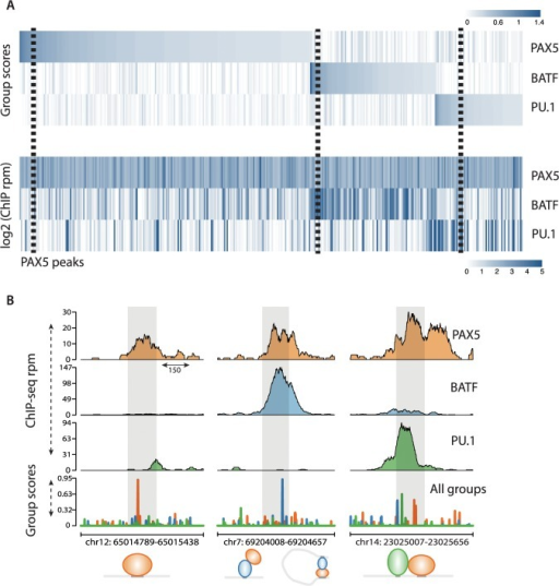 SeqGL identifies binding signals in ChIP-seq occupancy profiles.(A) Heatmaps show predicted binding signals and ChIP occupancy of PAX5 and co-factors. SeqGL analysis of PAX5 ChIP-seq predicts BATF and PU.1 as the most significant binding partners of PAX5. The top panel shows the group scores associated to three TFs from the PAX5 model, and the bottom panel shows the corresponding ChIP-seq read counts. This shows that a number of PAX5 ChIP-seq peaks are indirect and obtained through DNA binding of partners rather than PAX5 itself. The dashed boxes highlight the specific examples illustrated in Fig 3B. (B) Specific examples of PAX5 profiles show various modes of binding detected by SeqGL. The left panel shows direct binding of a TF (PAX5 recognizing its motif). The middle panel shows that the sequence signal is associated to BATF, and hence the PAX5 peak at this location is either due to interaction of the two factors and/or long distance looping. The right panel shows an example of co-binding of PAX5 and PU.1, each recognizing its respective binding motif.