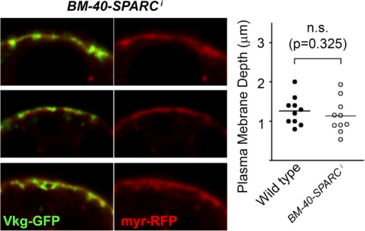 Knock-down of BM-40-SPARC (BM-40-SPARC>BM-40-SPARCi) causes PM accumulation of Collagen IV without PM overgrowth.DOI:http://dx.doi.org/10.7554/eLife.07187.018