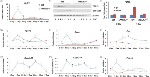 The induction of PPARα target FGF21 is diminished in PPARα-humanized mice after PHExperiments were performed based on the description in Figure legend 2. PH was performed in WT and hPPARαPAC mice and hepatic gene expression of Fgf21 was studied using qPCR (A). Western blot analysis indicated that FGF21 protein level peaked 1 day after PH in WT livers, but not in hPPARαPAC. The induction of CYP4A14 was found in WT mice after PH, but such induction was absent in hPPARαPAC livers after PH (B). Chromatin immunoprecipitation assays were performed using liver tissues (n=3) from WT and hPPARαPAC mice 0 and 1 day after PH with either PPARα or negative control IgG. The purified DNA fragments were amplified using primers specific for the Fgf21 promoter (C). PH was performed in WT and hPPARαPAC mice and hepatic gene expression of Pgc1a, Acox, Cpt1, Cyp4a10, Cyp4a14 and Pepck were studied using qPCR (D-I). All values represent mean ± standard deviation, n = 5; * p<0.05, student's t test.