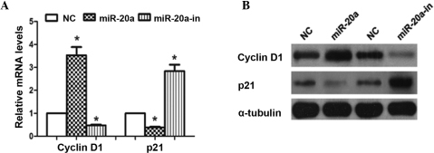 miR-20a altered the levels of proteins associated with cell proliferation and the cell cycle in Saos-2 cells. (A) Reverse transcription-quantitative polymerase chain reaction analysis of expression of cyclin D1 and p21 in Saos-2 cells. (B) Western blot analysis of cyclin D1 and p21 protein in Saos-2 cells. α-tubulin served as the loading control. *P<0.05, compared with NC. miR, microRNA.