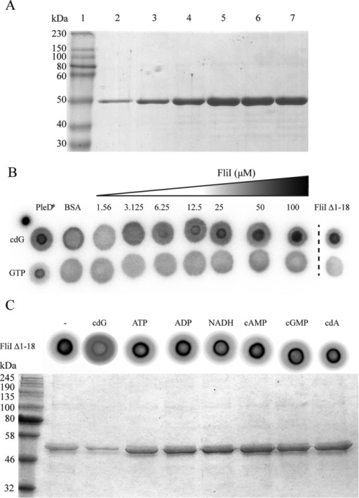 A, Coomassie-stained SDS-PAGE gel showing purified FliIHis fractions eluted with 500 mm imidazole. B, DRaCALA for [32P]cdG and [32P]GTP binding to increasing concentrations of full-length FliI (FliIHis). Positive (10 μm PleD*) and negative (10 μm BSA) binding controls are included, as well as N-terminal truncated FliI (10 μm FliIΔ1–18). C, DRaCALA competition experiment performed on FliIΔ1–18. A variety of nucleotides were included in the reaction to test the specificity of cdG binding. SDS-PAGE gel showing protein bound to the capture compound after preincubation with different nucleotides.