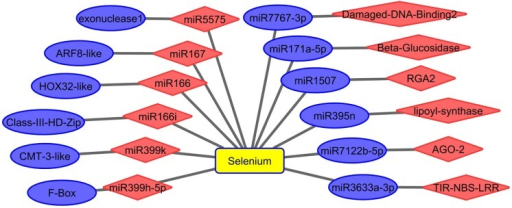 Se affected miRNAs and their targets in A. chrysochlorus calli based on the degradome data.ARF8 like: auxin response factor 8-like [Glycine max], HOX32-like protein: homeobox-leucine zipper protein HOX32-like [Glycine max], Class III HD Zip protein: Class III HD-Zip protein [Medicago truncatula], CMT-3 like protein: DNA (cytosine-5)-methyltransferase CMT3-like [Glycine max], F-Box: F-box protein SKIP2-like [Glycine max], Damage DNA Binding 2: protein DAMAGED DNA-BINDING 2 [Glycine max], RGA2: Disease resistance protein RGA2 [Medicago truncatula], AGO-2: protein argonaute 2-like [Glycine max], TIR- NBS-LRR: TIR-NBS-LRR RCT1 resistance protein [Medicago truncatula]. Blue color: upregulated, red color: downregulated.