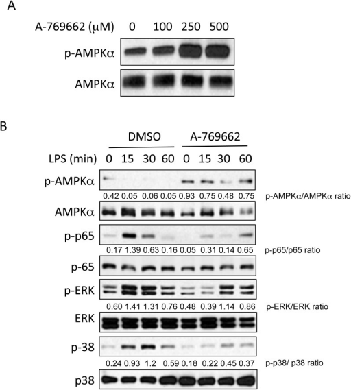 A-769662 activated AMPKα and regulated NF-κB and MAPK signaling in BMDMs.BMDMs were cultured in the presence of different concentrations of A-769662 for 2 hours (A), or BMDMs were pre-treated with A-769662 for 2 hours before stimulated with LPS (1 μg/ml) (B). Lysates of BMDMs were prepared and analyzed for the expression of the indicated proteins by Western blot (WB). Semi-quantitative densitometry analysis of Western blots (arbitrary densitometry units) for phosphorylation of indicated proteins normalized to total protein is shown. Results are representative of three independent experiments.