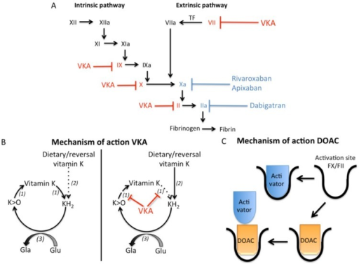 Effects of vitamin K antagonists and direct oral anticoagulants on coagulation. (A) The coagulation cascade can be activated by both the intrinsic and extrinsic pathway, which finally results in activation of thrombin and subsequently fibrin formation. Vitamin K antagonists (VKA) induce anticoagulation via inhibiting activation of the coagulation factors depicted in red (factors X, IX, VII, and II). Direct oral anticoagulants (DOACs) induce anticoagulation via blocking the activity of coagulation factors Xa (rivaroxaban and apixaban) and IIa (dabigatran) depicted in blue; (B) Vitamin K cycle is required to carboxylate, and thus activate, vitamin K dependent proteins. Vitamin K is converted to vitamin hydroquinone (KH2), which is oxidized by γ-glutamylcarboxylase (3) to convert glutamate (Glu) residues in γ-carboxyglutamate (Gla) residues. This reaction results in vitamin K epoxide (K > O), which is recycled to vitamin K through vitamin K epoxide reductase (1). VKA disrupts the vitamin K cycle by inhibiting vitamin K epoxide reductase (VKOR) leading to depletion of vitamin K and uncarboxylated vitamin K dependent proteins. In the liver, the inhibition of warfarin can be circumvented via NAD(P)H quinone reductase (2), which can convert vitamin K into KH2 even in the presence of VKA. In extra-hepatic tissues NAD(P)H quinone reductase activity is ca. 100 fold less, resulting in inactive vitamin K dependent proteins in the presence of VKA; (C) DOACs induce anticoagulation via inhibiting the activity of FXa and FIIa via binding to the activation site.