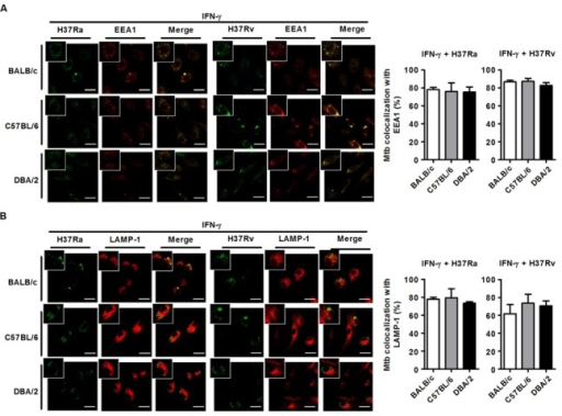IFN-γ restores phagosome maturation in H37Rv-infected DBA/2 BMDMs. BMDMs were stimulated with IFN-γ (20 ng/ml) for 2 h and then infected with either virulent H37Rv or attenuated H37Ra. After 4 h, the cells were fixed and stained with anti-CD107a LAMP-1-Alexa Fluor® 647 or anti-EEA1-Alexa Fluor® 647 antibodies. Co-localization between M. tuberculosis and EEA1 (A) or LAMP-1 (B) was analyzed using confocal microscopy. The bar graphs show the percentage of M. tuberculosis foci that co-localized with EEA1 (A, top panel) or LAMP-1 (B, bottom panel) in the quantitative analysis. The data are presented as the mean ± standard deviation (n = 10).