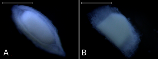 Upper and lateral surfaces.Basic views of the Acellular Lamellar Cephalic Body: upper (A) and lateral (B) surfaces, under the stereomicroscope. Scales: 1 mm.